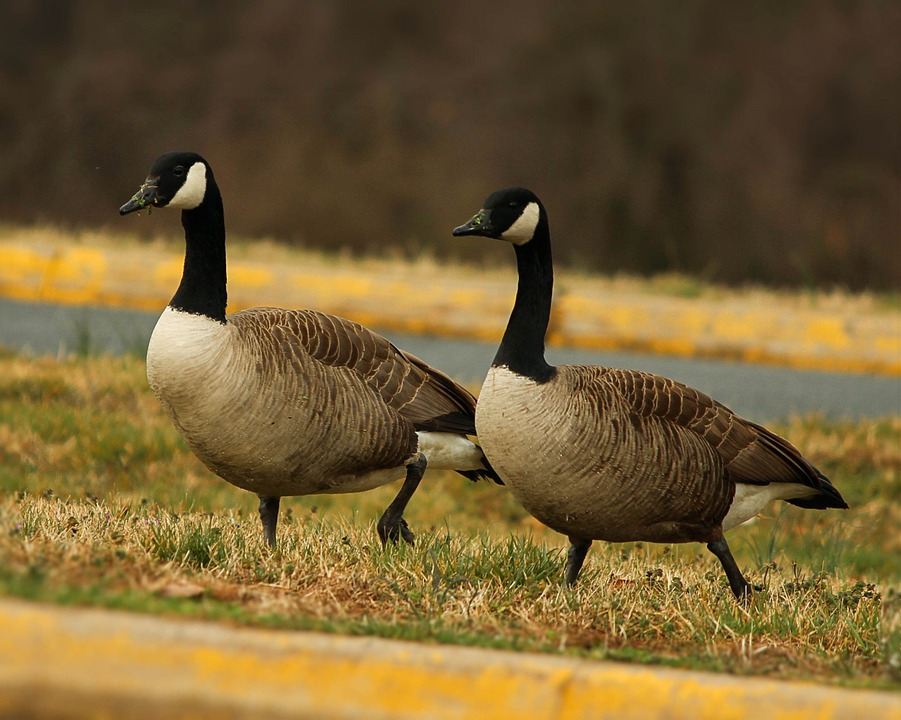 Goose Reduction Canton Parks & Recreation